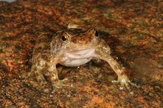 Rana de torrente, solo mide 2.5 cm  / y otras ranas