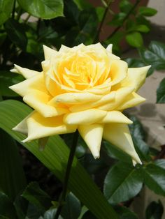 """Yellow Pointy Rose"""