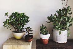 Esta especie, conocida como Planta de Jade, además de su alto valor ornamental y fácil mantenimiento tiene fama de atraer billetes.