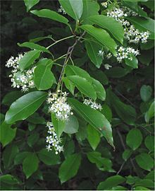 Prunus serotina - Wikipedia, the free encyclopedia