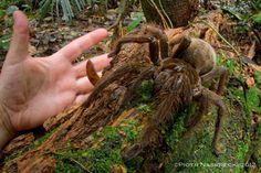 goliath birdeater spider