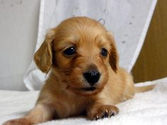 子犬の紹介:ミニチュア・ダックスフンド レッドの男の子
