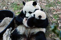 Tai Shan and Mei Xiang (photo by Simba on 17th) #panda