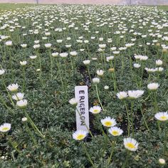 Introducing Erigeron compositus aka Cutleaf Daisy or Fleabane. Usually grown in cold/temperate areas, this hardy plant is also quite happy here in Brisbane. The foliage only grows to 30mm and with the flowers up to 100mm. This self seeding perennial is perfect for rockeries or garden beds. Currently available in our unique Plant Tiles. For more information call 0428 979 984. . . . . . . #instagarden #planttiles #erigeron #horticulture #garden #gardening #gardenideas #gardenbed #flowers… Unique Plants, Hardy Plants, Garden Beds, Horticulture, Brisbane, Perennials, Tiles, Daisy, Seeds