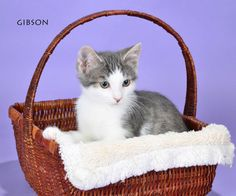Gibson is a kitten available for adoption through Napanee Community Kitten Rescue
