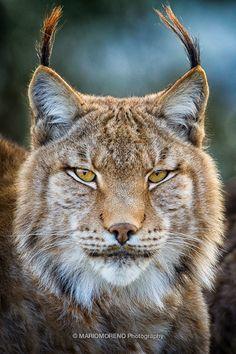 Eurasian Lynx... dear God, I love ear tufts!