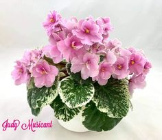 Leafy Plants, Flowering Plants, Indoor Plants, Planting Flowers, Easy House Plants, Saintpaulia, African Violet, Violets, Houseplants