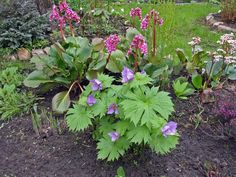 Полезный бадан — красивое растение для сада — 6 соток