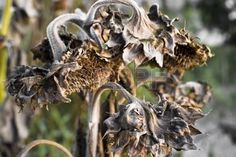 Dried sunflowers. Dried Sunflowers, Happy Flowers, Garden Club, Faded Glory, Decay, Lion Sculpture, Autumn, Artwork, Nature
