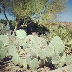 Cactus at #TaliesinWest #FrankLloydWright #WrightSites #Architecture #Design #Nature #OrganicArchitecture #Cactus #Phoenix #Scottsdale #Desert