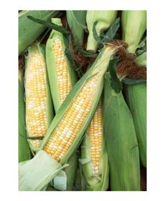 How To Grow Sweet Corn - At Home In Your Garden....