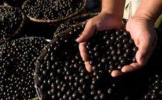 Acai e le proprietà curative delle bacche Sono i frutti di una palma che cresce spontanea nelle foreste pluviali del Centro e Sudamerica i acai bacche prorpietà dieta