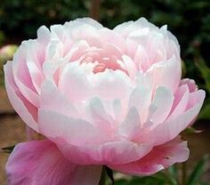 Mrs. FDR Peony | must remember to order these mrs fdr peonies they are gorgeous