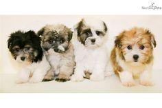 Meet Paris a cute Havanese puppy for sale for $450. Paris our Female Havanese!