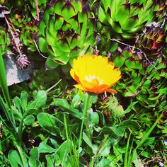 Fiore nato a caso fra le piante grasse!