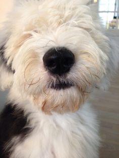 old english sheepdog face