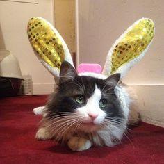 #easter #paques #lapin #bunny #rabbit #lapinchat #bunnycat #happyeaster #mollypetitcoeur #molly #chat #cats #catstagram #ilovemycat #pets #gato #kitty #cutepetclub #catsofworld #meowbox #miaou #turkishcat #pandacat #carturday #catsofinstagram #lechatfrancais #cuteanimals #pawproject #followme #loveme