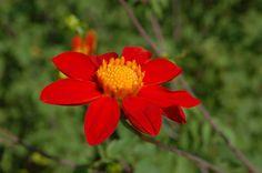 Dalia, flor nacional