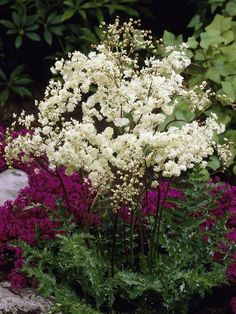 "Filipendula hexapetala 'Flore Plena', Double flowering Meadowsweet,. Perennial 2-3' tall, 16"" apart, zone 3-10. Ferny leaves, creamy-white double blossoms on graceful feathery plumes. Prefer morning sun/afternoon shade in moist location, but Flore Plena tolerates dryness. Blooms June onward, Good cut flower. Cut back dead tops in fall. Remove spent flower stems to prevent self sowing. Divide in spring or fall. Containers, wet sites, deer resistant. Attracts Butterflies/Pollinators."