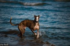 Sunshine and  family: Whippets am Strand, Whippets im Sand