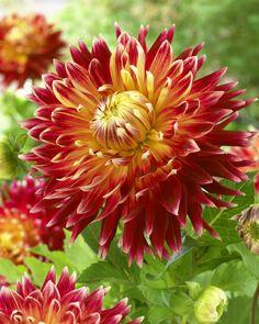 Novelty fully double dahlia - Akita • Blumen & Pflanzen Blog • 99Roots.com