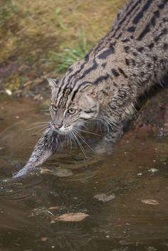 fischkatze  fishcat  german wild cat i believe