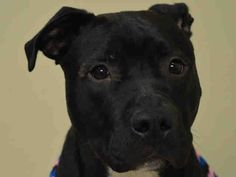 RETURNED!! SAFE RTO 3/9/15 SUPER URGENT Manhattan Center DENVER aka KENO – A1029458 **RETURNED 08/04/16** NEUTERED MALE, BLACK / WHITE, AM PIT BULL TER MIX, 2 yrs OWNER SUR – ONHOLDHERE, HOLD FOR ID Reason NO TIME Intake condition UNSPECIFIE Intake Date 08/03/2016, From NY 10029, DueOut Date 08/03/2016,