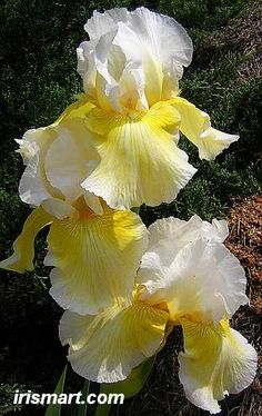 Glowing Smile Tall Bearded Iris Iris Flowers, Exotic Flowers, Amazing Flowers, My Flower, Yellow Flowers, Planting Flowers, Beautiful Flowers, Iris Garden, Garden Plants