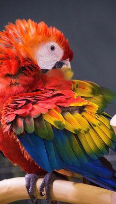 Ara/Macaw