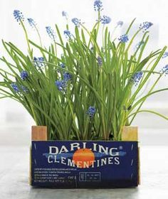 During the winter, you can force bulbs to bloom indoors (like the Christmas Pearl grape hyacinths shown here), then replant outside come spr...