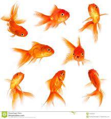 Resultado de imagem para gold fish