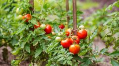 Tomate : plantation, entretien - Côté Maison