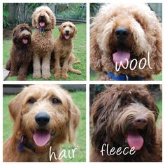 Labradoodle coat types: prefer fleece to wool; don't want hair type F1 Labradoodle, Australian Labradoodle, Labradoodles, Goldendoodles, Chocolate Labradoodle, Labradoodle Puppies For Sale, Cockapoo Dog, Goldendoodle Haircuts, Goldendoodle Grooming
