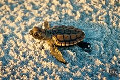 Loggerhead Hatchling - Cocoa Beach, FL Florida Girl, Florida Vacation, Florida Travel, Florida Beaches, Cute Turtles, Baby Turtles, Sea Turtles, Beautiful Creatures, Animals Beautiful