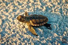 Loggerhead Hatchling - Cocoa Beach, FL