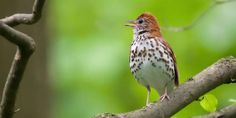Listen here to the beautiful song of the wood thrush. The Cornell Lab of Ornithology is a massive digital repository of cool stuff, and a big piece of it is the Macaulay Library of Natural Sounds's audio and video recordings of wildlife all over the world. Since 1920 scientists at Cornell have been recording wildlife, at first mostly birds, and then branching out to other animals.