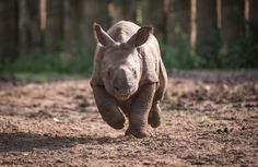 Komala was born on 7 July 2013. Her name means 'delicate' in Hindi. | First Appearance Of Rare Baby Rhino At Chester Zoo