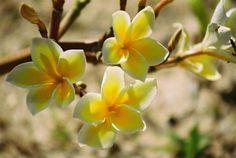 Flowers of Samoa