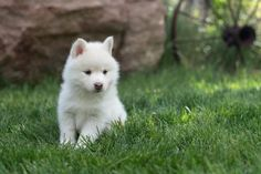 Pomsky Puppies for Sale Pomsky Puppies For Sale, Puppy Love, Husky, Dogs, Animals, Animales, Animaux, Pet Dogs, Doggies