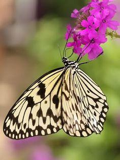 Ecobirder: October 2009  Paper Kite