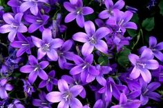 ベルフラワー オトメギキョウ の育て方や花言葉 株分けや切り戻しの方法は 花言葉 6月の誕生花 美しい花