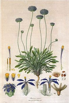 ' Brunonia sericea (now Brunonia australis) ' by Ferdinand Bauer Florae Novae Hollandiae plate - Illustrationes Florae Novae Hollandiae - Illustration Blume, Nature Illustration, Floral Illustrations, Vintage Botanical Prints, Botanical Drawings, Botanical Art, Illustration Botanique Vintage, Impressions Botaniques, North Rhine Westphalia