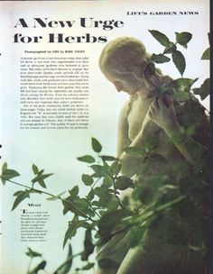 "Description: 1961 HERBS vintage magazine article ""A New Urge for Herbs"" -- LIFE's Garden News ... photographed for LIFE by Bert Stern ... Mint ... Sage ... Thyme ... Chives ... Tarragon ... Savory ... Parsley ... Basil ... Rosemary ... Dill -- Size: The dimensions of each page of the six-page article are approximately 10.5 inches x 13.5 inches (26.75 cm x 34.25 cm). Condition: This original vintage six-page article is in Excellent Condition unless otherwise noted."