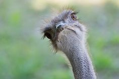 Funny animals gallery: Ostrich in the animal park in Nuremberg
