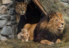 Lion family. Animals@animal life
