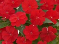 100 Impatiens New Guinea Harmony Red Cardinal Live PlantS Plugs Garden 109 Patio Planters, Planting Flowers, Flower Plants, Live Plants, Perennials, Beautiful Flowers, Plugs, Summertime, Home And Garden