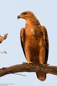 Aigle ravisseur // Tawny Eagle (Aquila rapax)