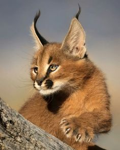 An adorable caracal kitten. Such beautiful coloring and markings. The caracal (Caracal caracal) is a medium-sized wild cat native to Africa, the Middle East, Central Asia, and India. Caracal Kittens, Serval Cats, Animals And Pets, Baby Animals, Cute Animals, Big Cats, Cool Cats, Beautiful Cats, Animals Beautiful