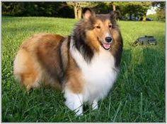 10 Best Miniature Collie Images Collie Dog Miniature Collie Dogs