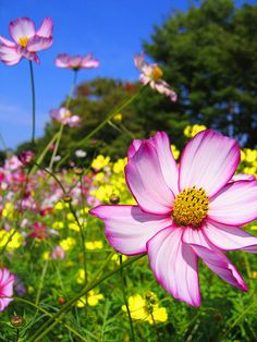 cosmos flowers  very pretty. My Nana always grew these. We had a beautiful garden of these when our children were little